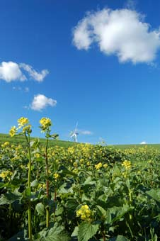 Renewable energy: a sweet harvest.